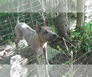 Thai Ridgeback Puppy for Sale in East Garafraxa, Ontario Canada