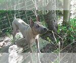 Thai Ridgeback Puppy For Sale in East Garafraxa, Ontario, Canada