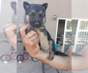 German Shepherd Dog Puppy for sale in ALBUQUERQUE, NM, USA