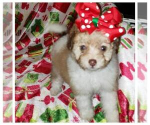 Maltese-Poodle (Toy) Mix Puppy for Sale in TAYLOR, Texas USA