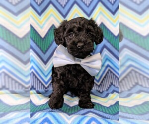Poodle (Toy)-Yorkshire Terrier Mix Puppy for sale in LANCASTER, PA, USA