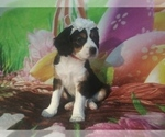 Puppy 2 Australian Shepherd-Cavalier King Charles Spaniel Mix