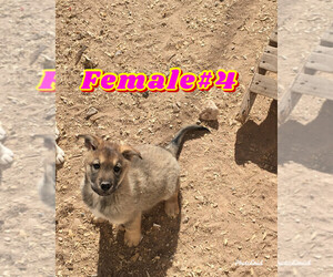 Wolf Hybrid Puppy for sale in ELEPHANT BTTE, NM, USA