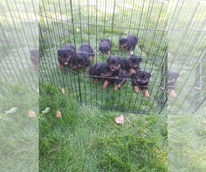 Rottweiler Puppy for Sale in AURORA, Colorado USA