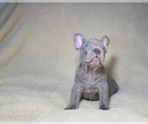 French Bulldog Puppy for sale in RIVERSIDE, CT, USA