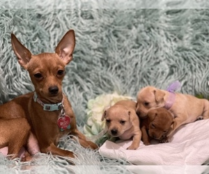 Miniature Pinscher Puppy for sale in SUFFOLK, VA, USA