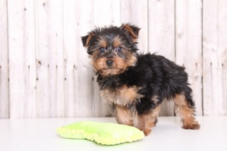 Yorkshire terrier for sale albuquerque