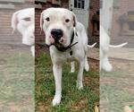 Small #13 Dogo Argentino