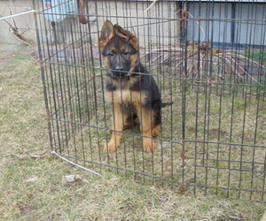 German Shepherd Dog Puppy for Sale in GREENVILLE, Michigan USA
