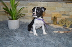 Boston Terrier-Jack Russell Terrier Mix Puppy For Sale in BATH, PA, USA