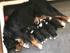 Bernese Mountain Poo Puppy For Sale in NORTH SALT LAKE, UT