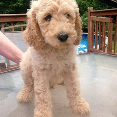 View Ad: Poodle (Standard) Litter of Puppies for Sale near Tennessee