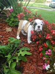 Bulldog Puppy For Sale in PARSONS, KS, USA