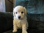 Puppy 4 Cockapoo