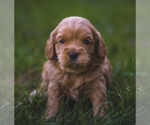 Cavapoo Puppy for Sale in ELKHART, Indiana USA