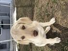 Labradoodle Puppy For Sale in FRUITA, Colorado,