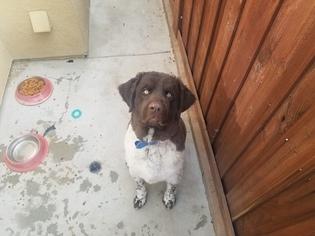 Newfoundland Puppy For Sale in SUN CITY, CA