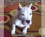 Small Photo #177 Dogo Argentino Puppy For Sale in PINEVILLE, MO, USA