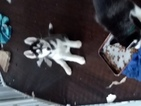 Siberian Husky Puppy For Sale in SAN MARCOS, CA, USA