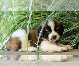 Saint Bernard Puppy for sale in FREDERICKSBG, OH, USA