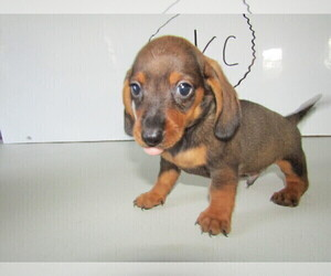 Dachshund Puppy for sale in INDIANAPOLIS, IN, USA