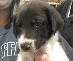 Small Photo #2 Border Collie-German Shorthaired Pointer Mix Puppy For Sale in LIMON, CO, USA