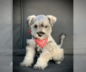 Schnauzer (Miniature) Puppy for sale in HESPERIA, CA, USA