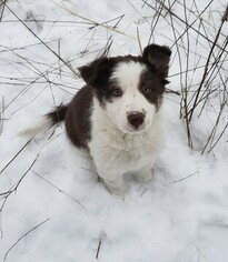 Medium Border Collie