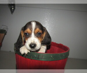 Beagle Puppy for sale in ELKHART, IN, USA