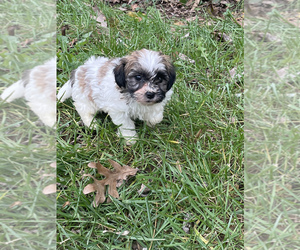 Zuchon Puppy for sale in RIVERDALE, MD, USA