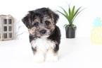 Biton-Yo-Chon Mix Puppy For Sale in NAPLES, FL, USA
