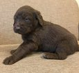 Labradoodle Puppy For Sale in JASPER, IN, USA