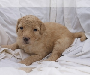 Medium Aussiedoodle-Poodle (Standard) Mix