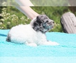 Small #36 Poodle (Standard)