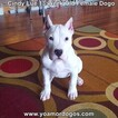 Small Photo #169 Dogo Argentino Puppy For Sale in PINEVILLE, MO, USA