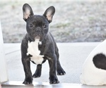 Puppy 3 French Bulldog