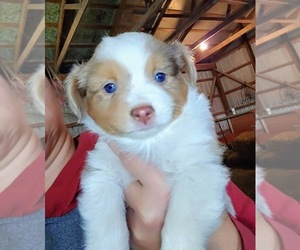 Australian Shepherd Puppy for Sale in SALEM, Indiana USA