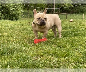 French Bulldog Puppy for sale in PULASKI, VA, USA