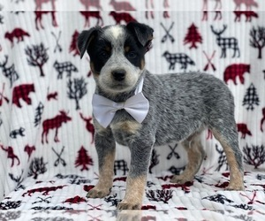 Medium Australian Cattle Dog