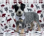 Small Australian Cattle Dog