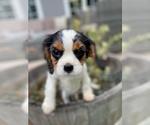 Puppy 2 Cavalier King Charles Spaniel