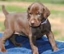 German Shorthaired Pointer Puppy For Sale in STANFIELD, NC, USA