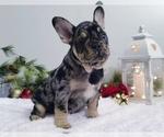 Puppy 4 French Bulldog