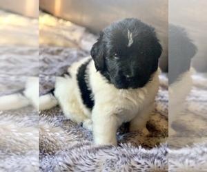 Newfoundland Puppy for Sale in CORONA, Arizona USA