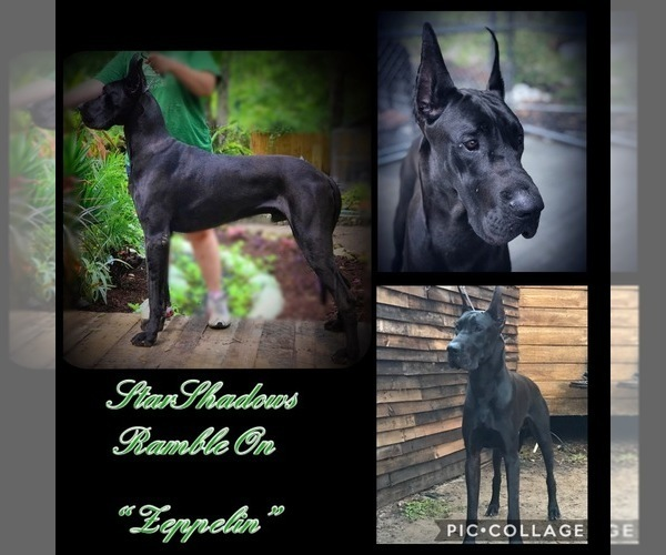 Medium Photo #2 Great Dane Puppy For Sale in OCALA, FL, USA
