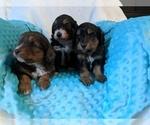 Australian Shepherd-Poodle (Miniature) Mix Puppy For Sale in MIDLAND CITY, AL, USA