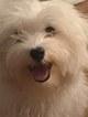 Maltese Puppy For Sale in WILMINGTON, DE, USA