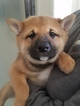 Shiba Inu Puppy For Sale in LANCASTER, CA, USA