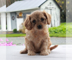 Cavalier King Charles Spaniel-Poodle (Toy) Mix Puppy for sale in COCHRANVILLE, PA, USA