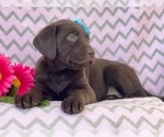 Small #14 Labrador Retriever